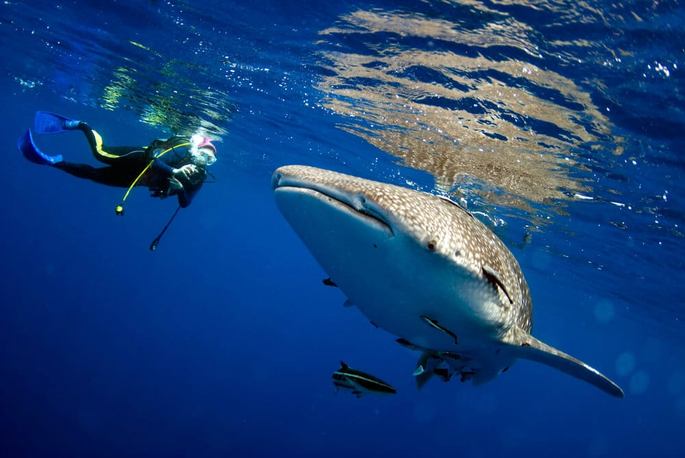 nadar com tubaroes baleia filipinas
