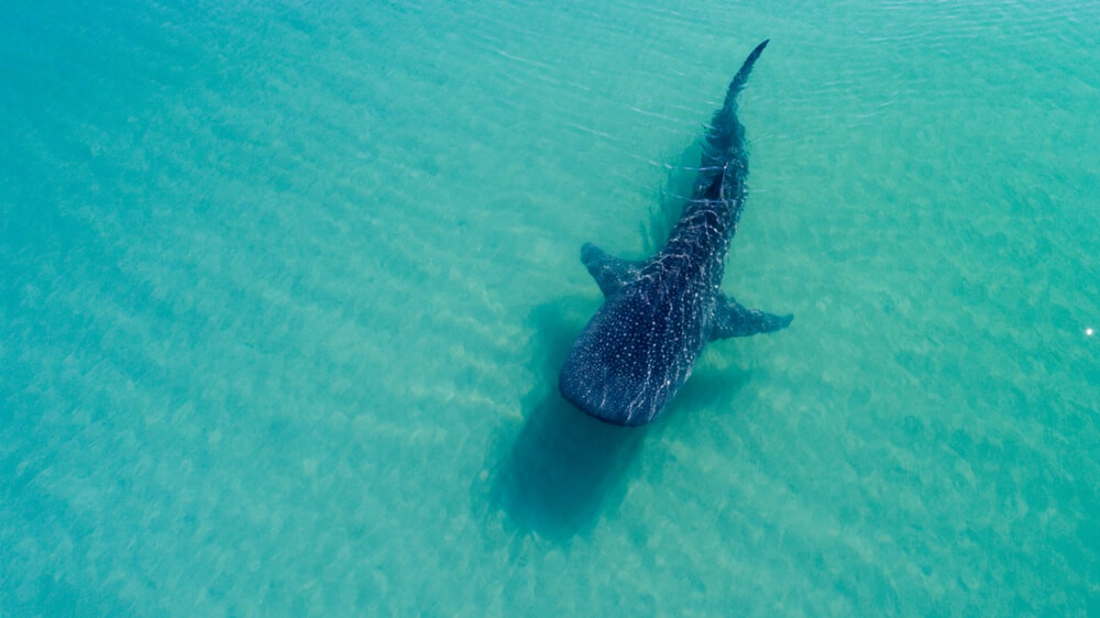 onde ver tubaroes baleia filipinas
