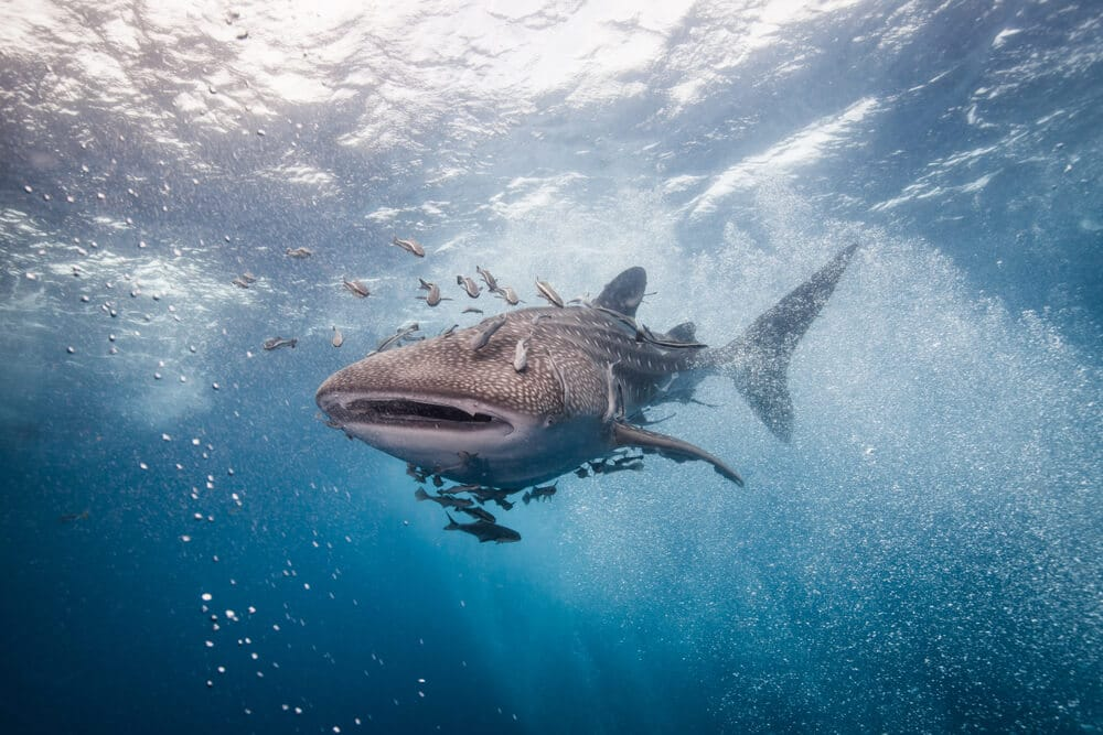 tubaroes baleia em oslob