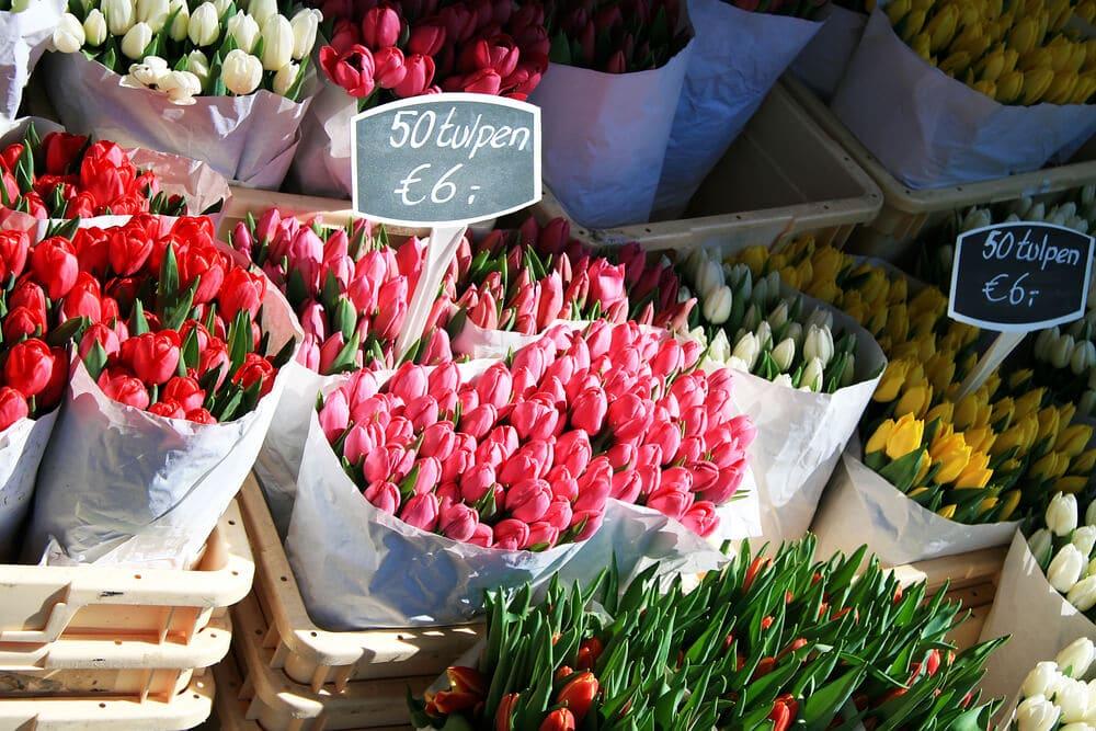tulipas flor tradicional da holanda