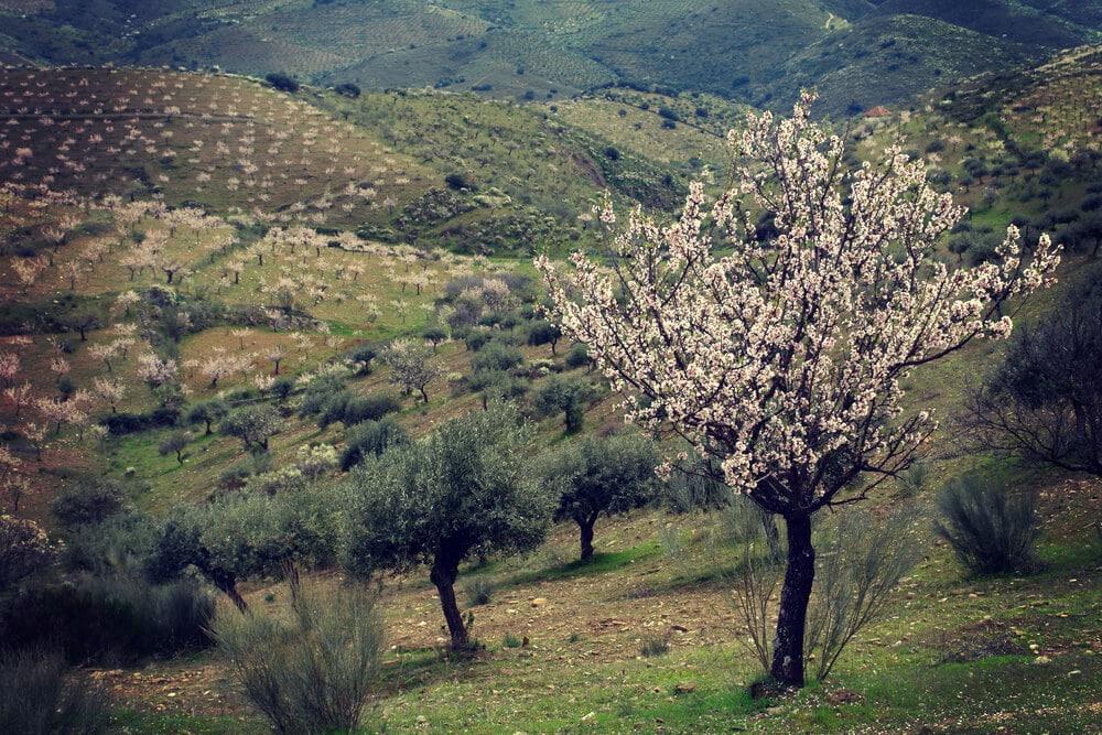 paisagem amendoeiras em flor em foz coa