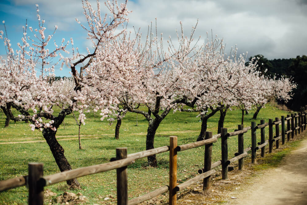 cultivo de amendoeiras em flor