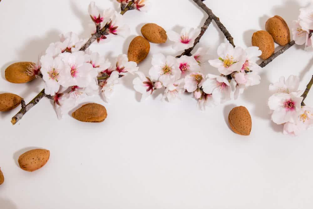 ramos de amendoeira com flores e frutos