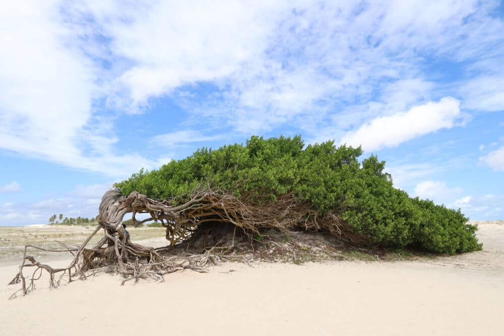 arvore da preguiça com os ramos na areia