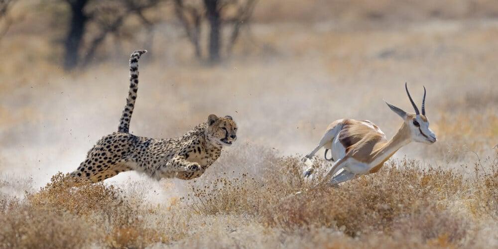 leopardo a correr atras de gazela no parque nacional etosha