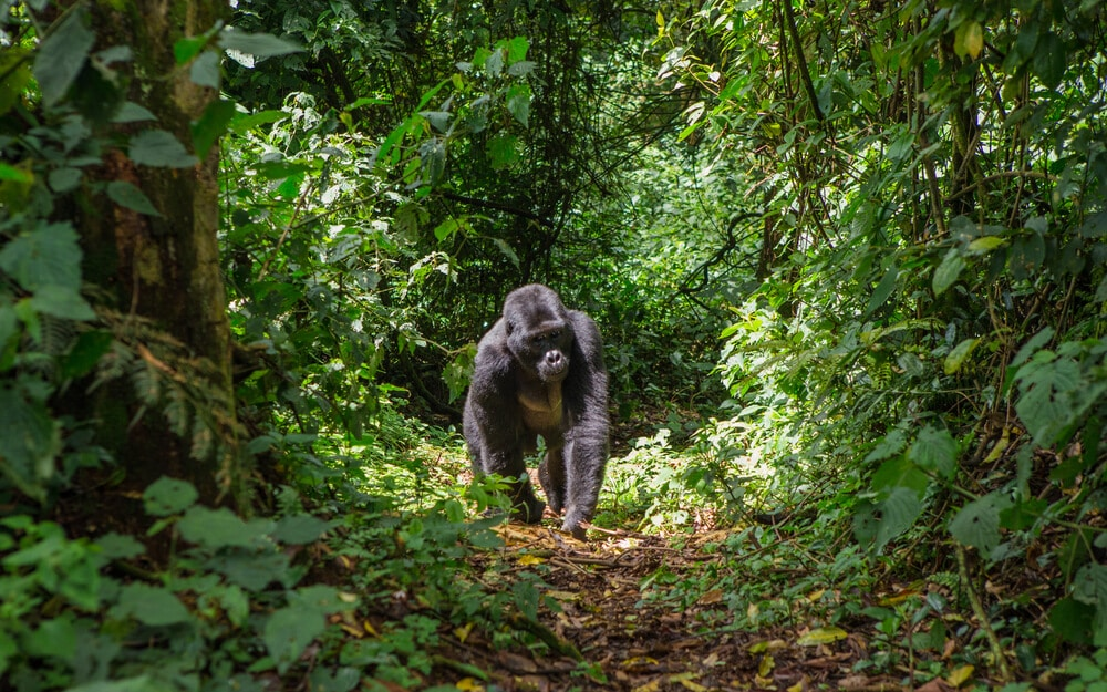 gorila macho passeio por entre as arvores em bwindi
