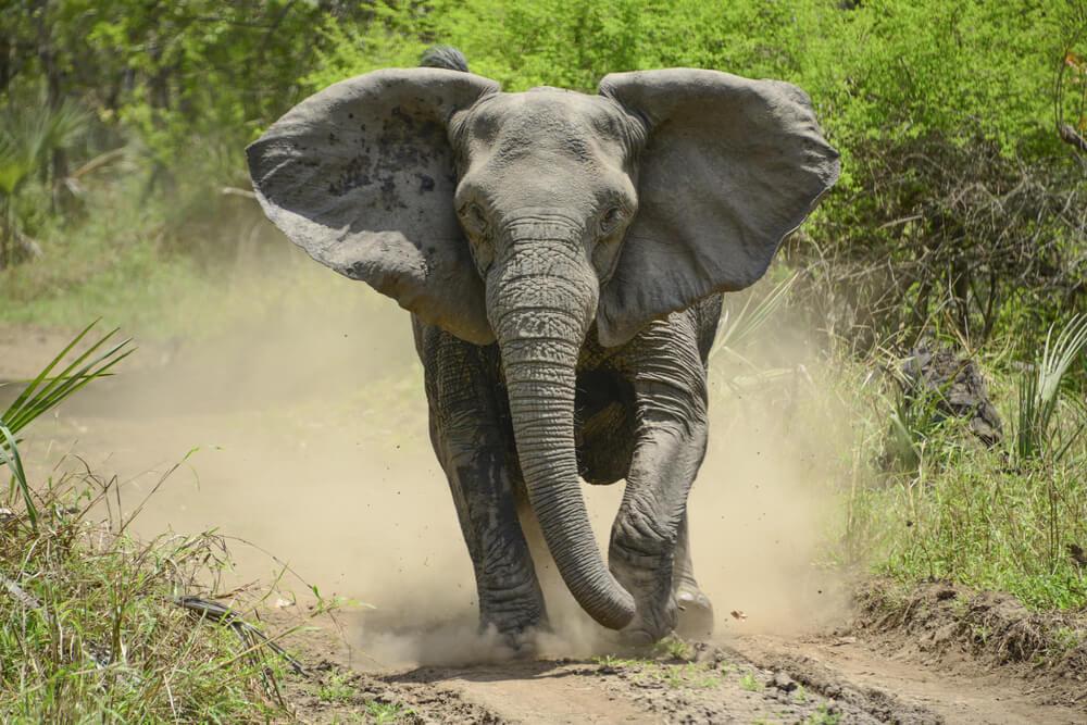 elefante furioso corre em direçao à camara