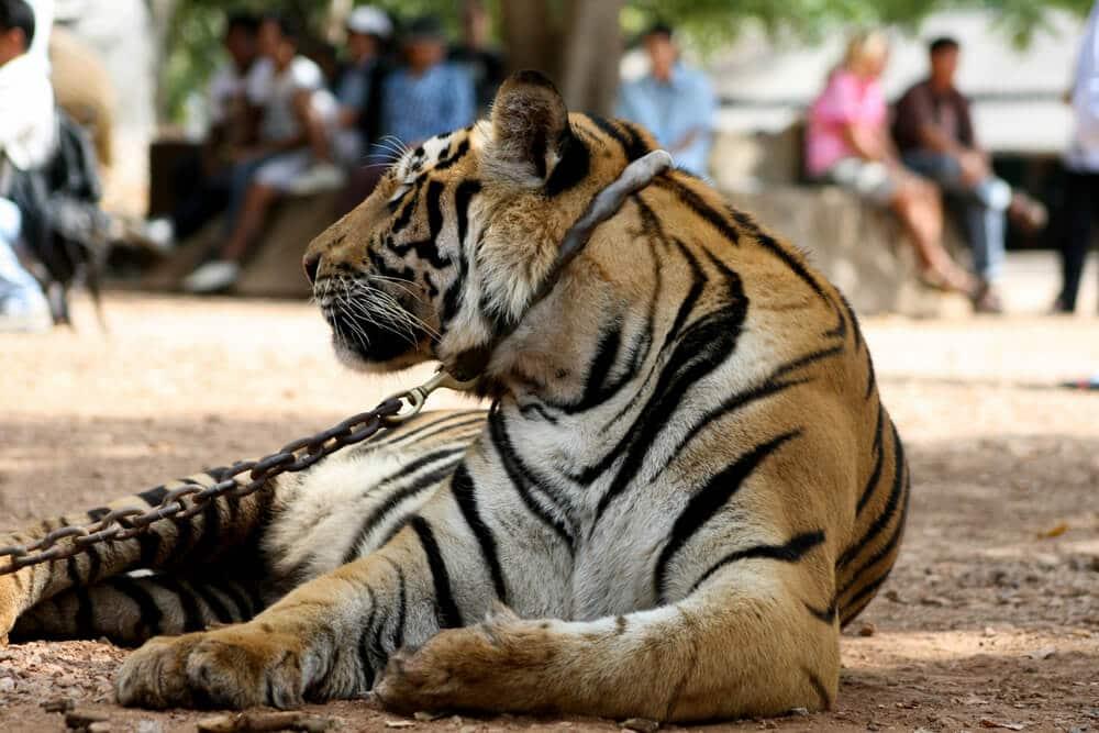 tigre acorrentado num templo de banguecoque