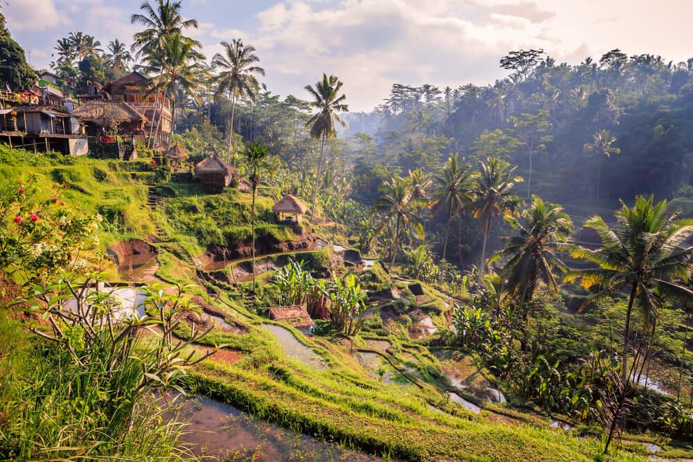 arrozais tipicos da zona de ubud