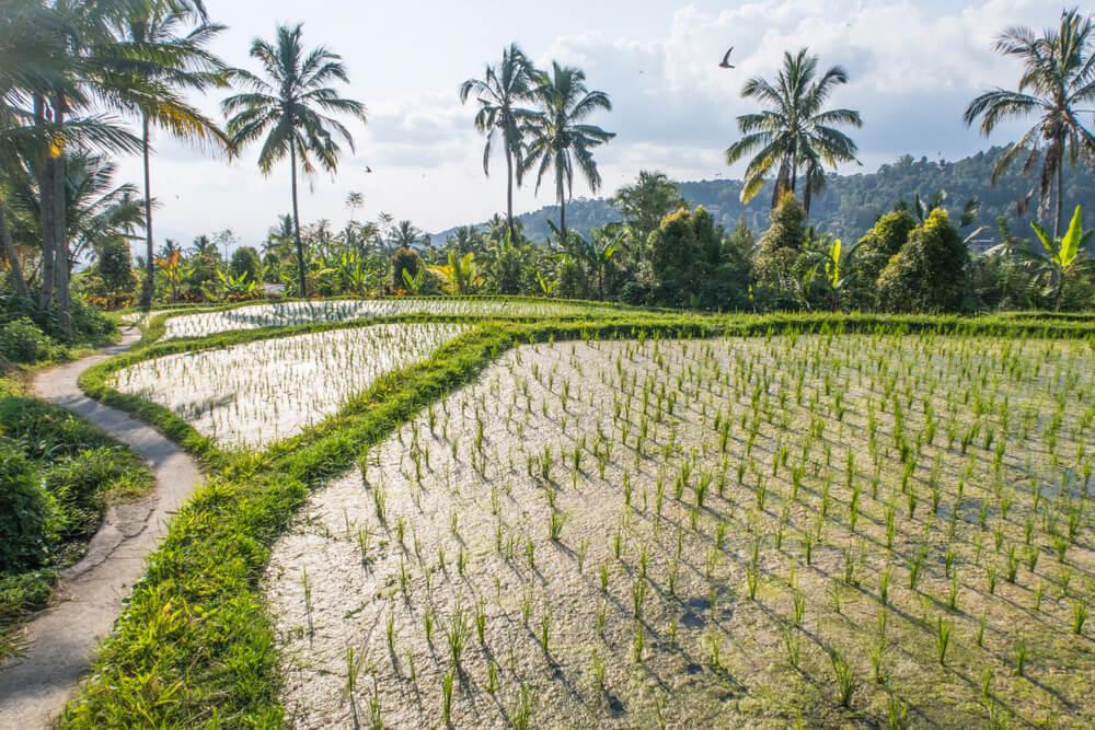 campos de arroz de munduk