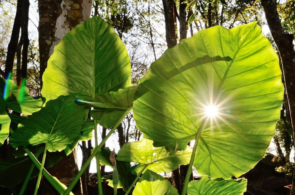 maior folha do mundo alocasia